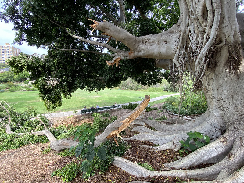 Storm damaged fig tree