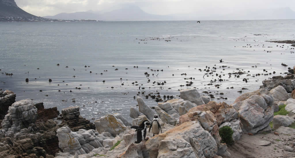 Stony Point Pinguïn Kolonie Zuid-Afrika | Mooistestedentrips.nl
