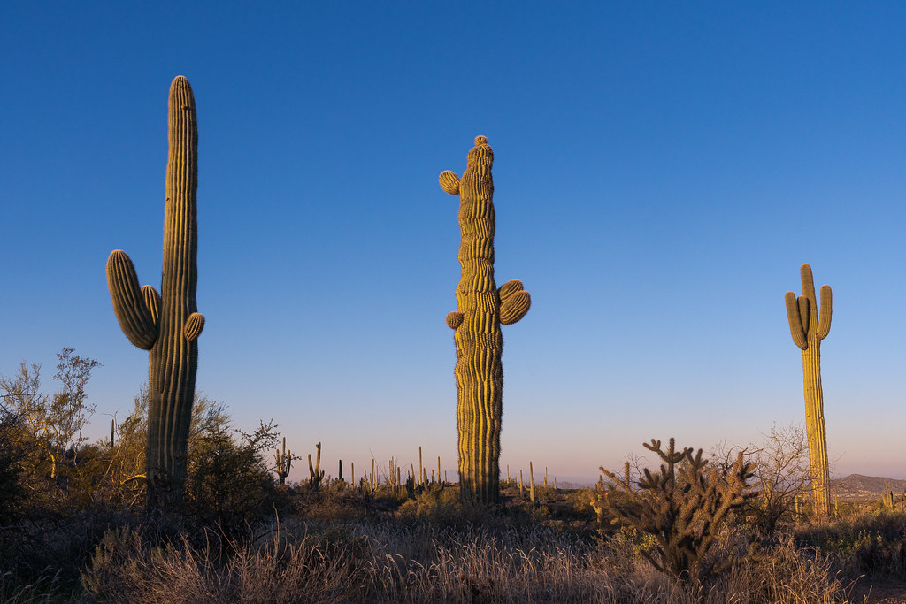 A saguaro with wavy pleats stands next to two normal saguaros at sunrise on the Latigo Trail in McDowell Sonoran Preserve in Scottsdale, Arizona in February 2020
