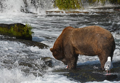Confronting the Enemy! A brave salmon getting a close-up view of this brown bear and his meal - 0096b