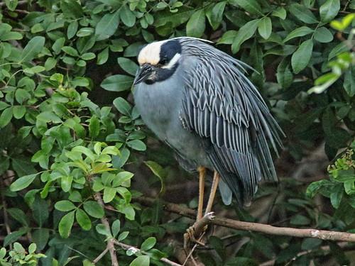 Yellow-crowned Night-Heron 01-20200208