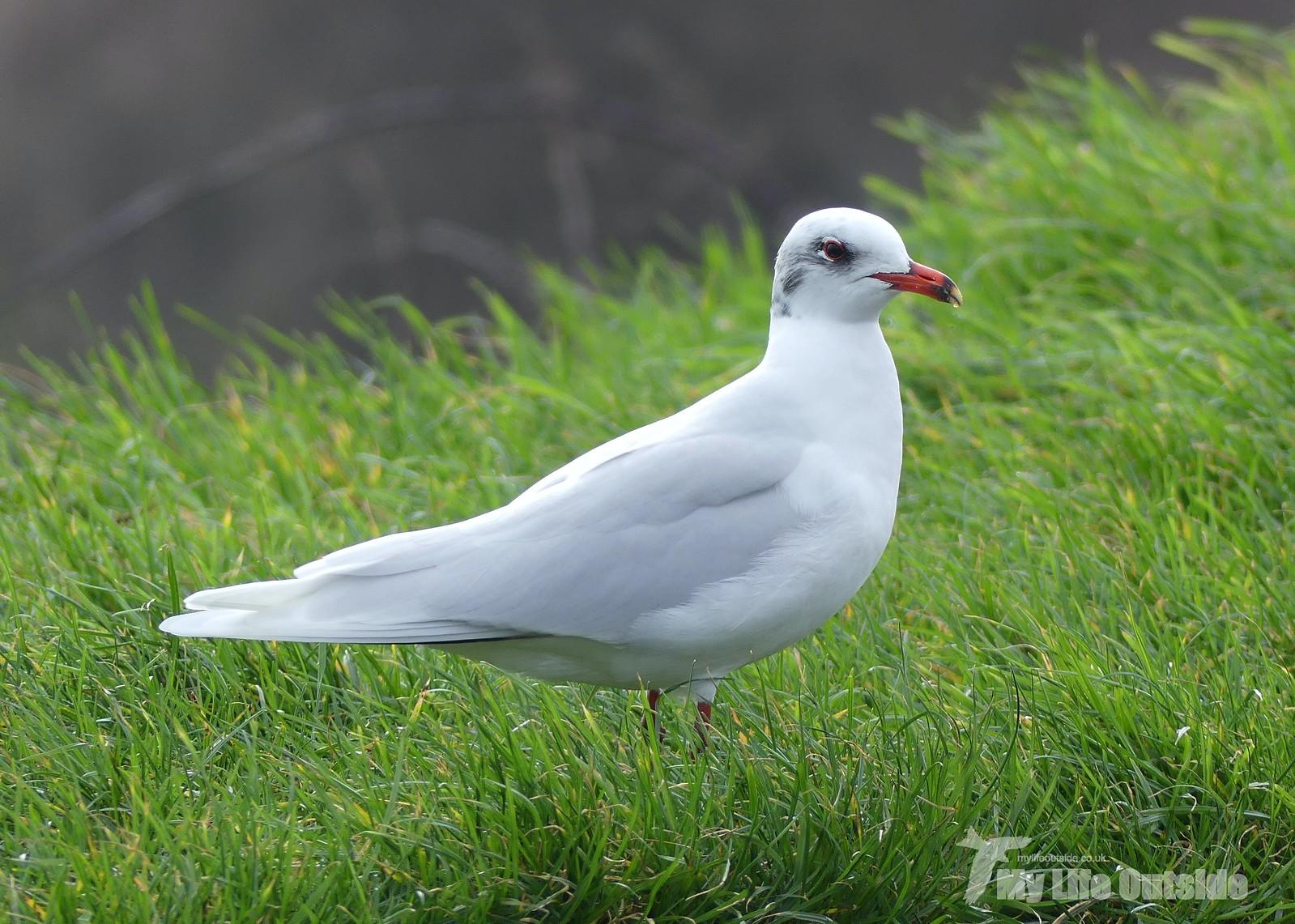 2020_02_0015 - Mediterranean Gull