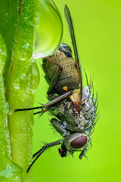 Fly in the morning dew