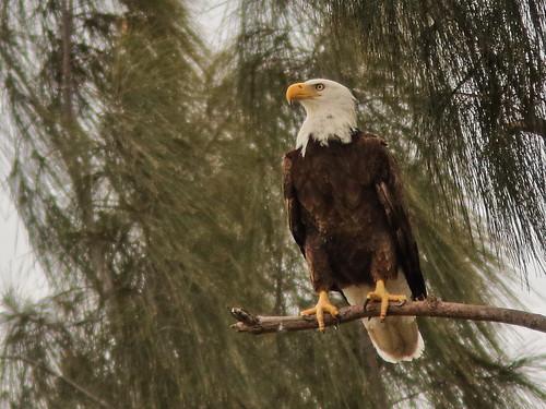 Bald Eagle female 03-20200208