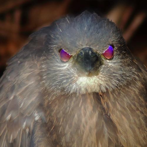 Yellow-crowned Night-Heron immature 05-20200208