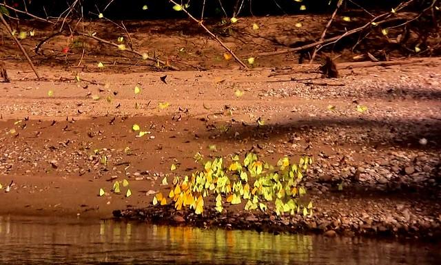 MEXICO, Las Guacamayas, direkt am Rio Lacantún, Flora und Fauna mitten im Dschungel, Schmetterlinge , 19516/12358