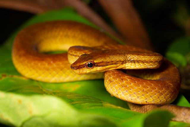 Common Mock Viper - Psammodynastes pulverulentus