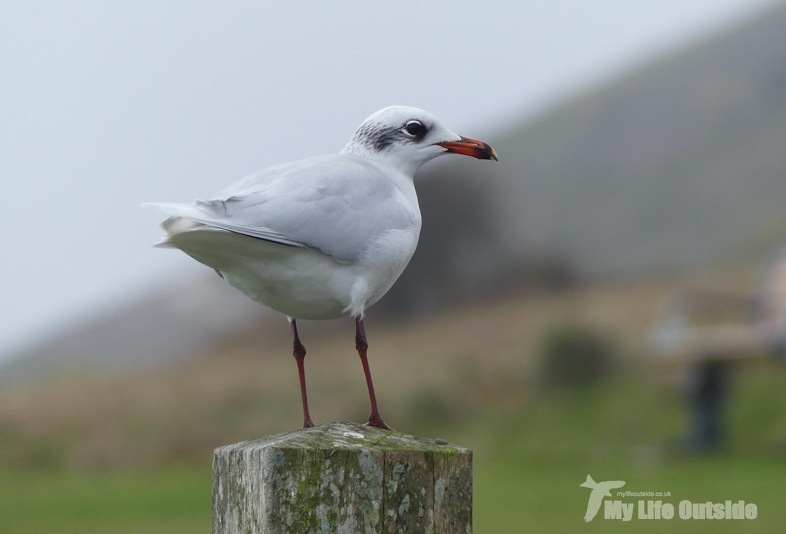 2020_02_0016 - Mediterranean Gull