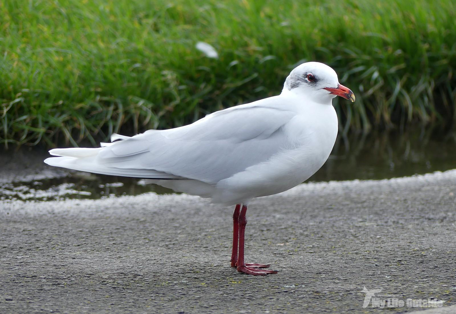 2020_02_0014 - Mediterranean Gull