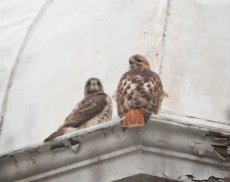 Red-tailed hawk pair