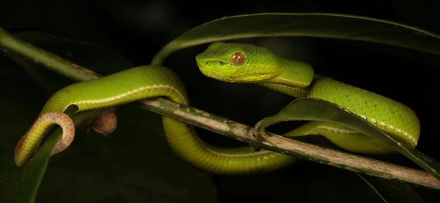 Green Tree Pit Viper (Trimeresurus sp., Crotalinae, Viperidae)
