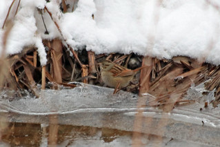 Second Saturday Bird Walk Feb 8, 2020 Swamp Sparrow by Marty Calabrese