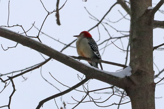 Second Saturday Bird Walk Feb 8, 2020 Red-bellied Woodpecker by Marty Calabrese