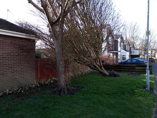 fallen tree Feb 20 (2)