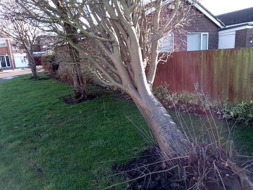 fallen tree Feb 20 (1)