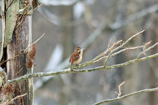Second Saturday Bird Walk Feb 8, 2020 Carolina Wren by Marty Calabrese