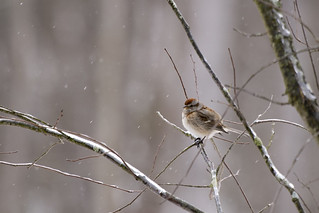 Second Saturday Bird Walk Feb 8, 2020 Marsh Sparrow by Cynthia Smith