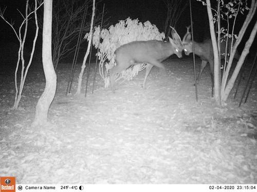 Deer fighting in my cottage garden