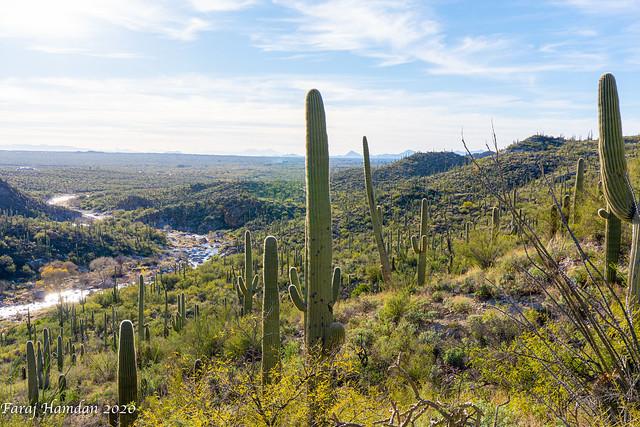 Saguaro-3930