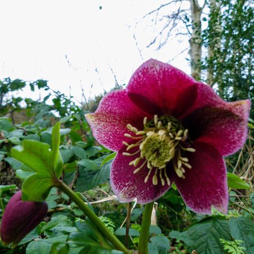 Winter flowers: hellebore, Perton