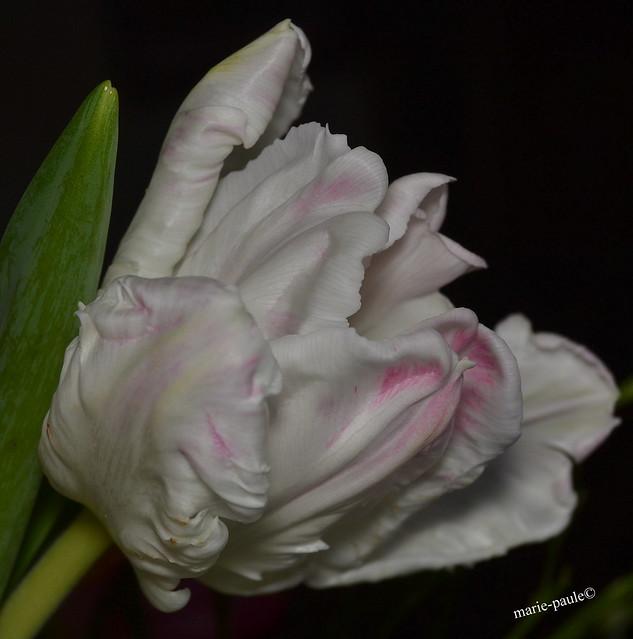 Tulpe in weiß-rosa