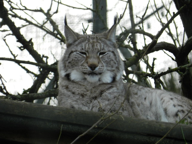 Lynx, Highland Wildlife Prk, Kincraig, Jan 2020