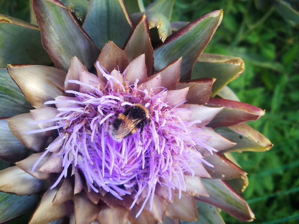 Bumblebee in artichoke flower