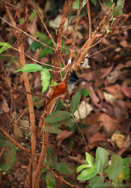 Indian Paradise Flycatcher - Female(Terpsiphone paradisi)