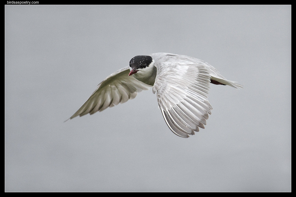 Whiskered Tern : Hanging in the Air