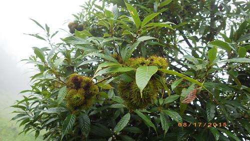 Mon, 08/17/2015 - 09:45 - Lithocarpus xylocarpus