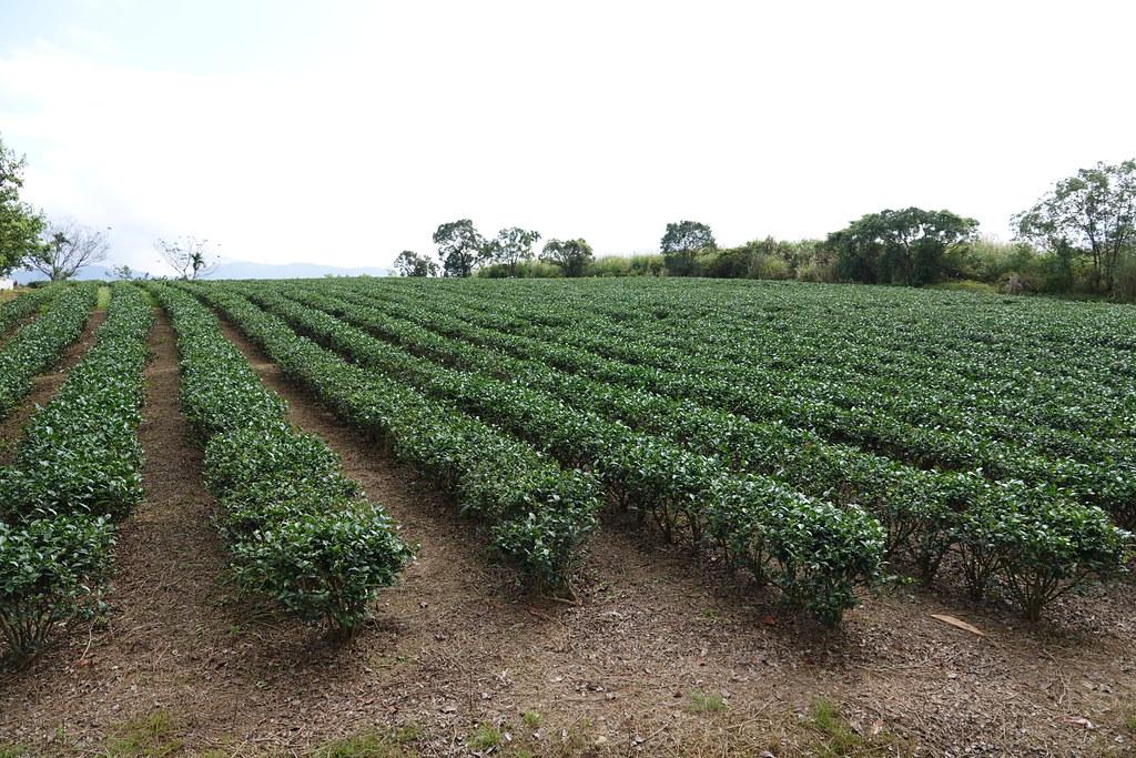 20200202_瑞穗紅茶 (17)