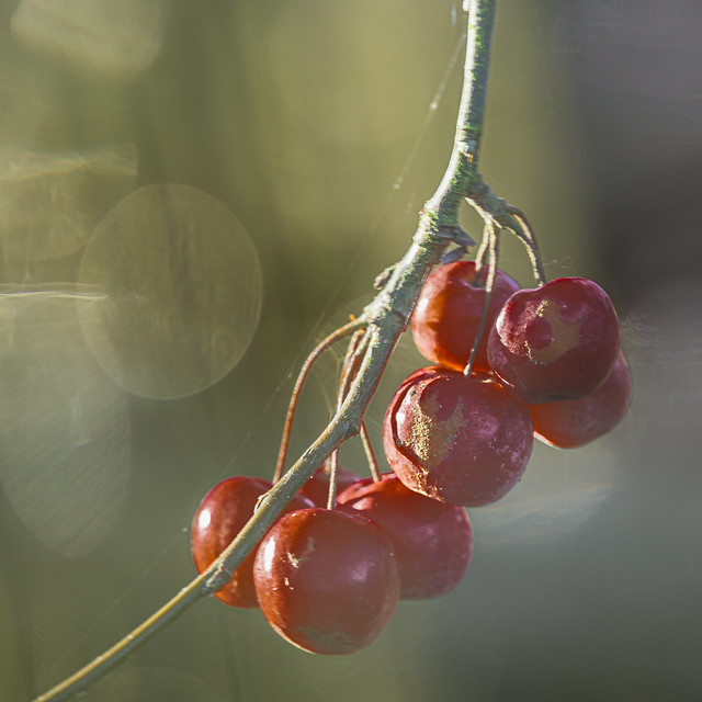 Fading Cherries