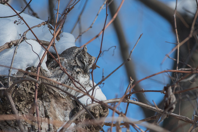 Petit duc maculé/Eastern screech Owl -_PM33956