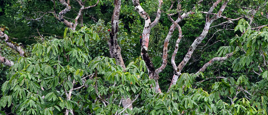 Sometimes birds are far away.  You can find two Crimson-crested Woodpeckers (Campephilus melanoleucos) in this photo.  Jungle along Río Napo in the vicinity of Sacha Lodge.  Ecuador.
