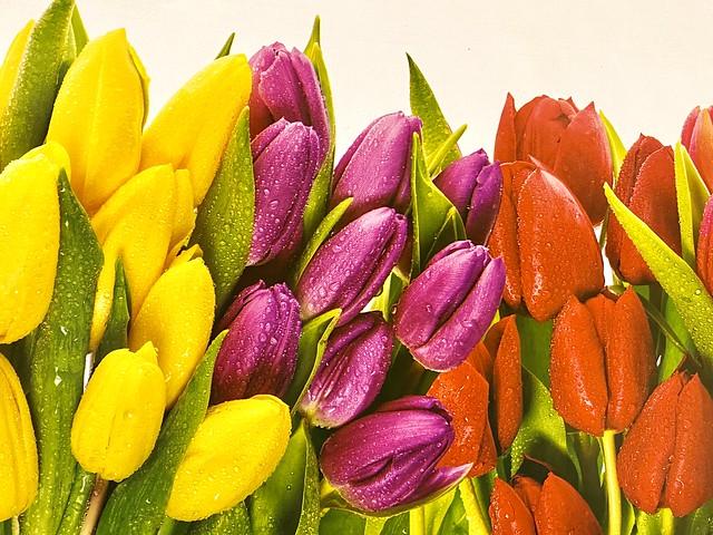Delightful Tulips