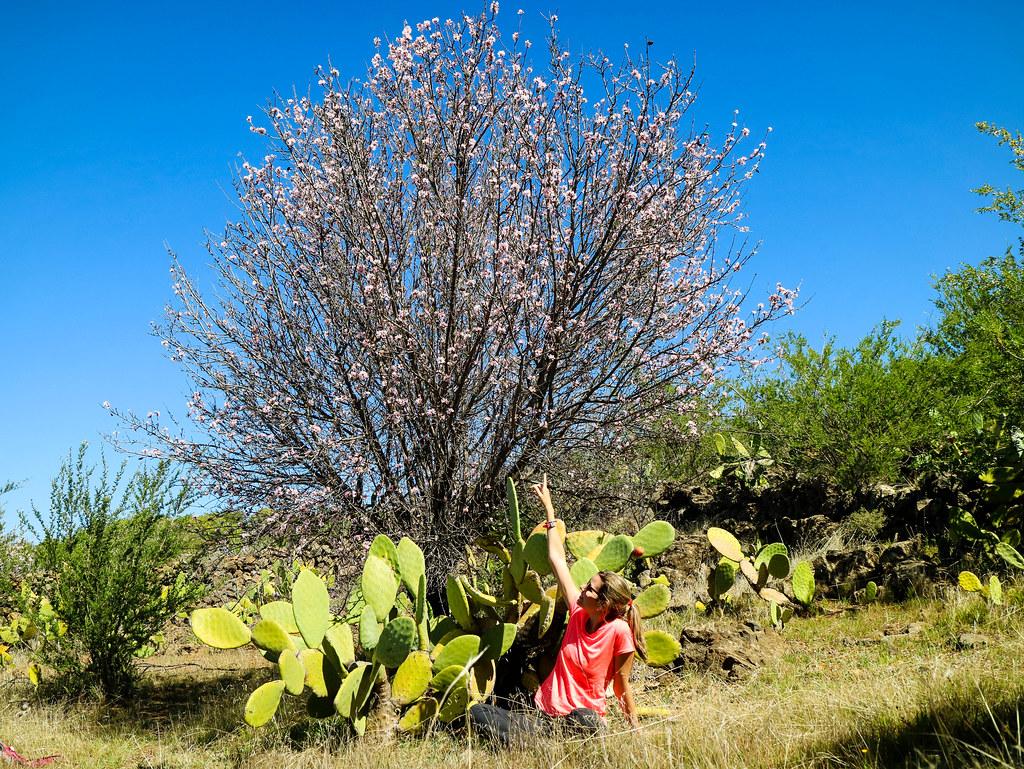 Almendro en flor en Tenerife