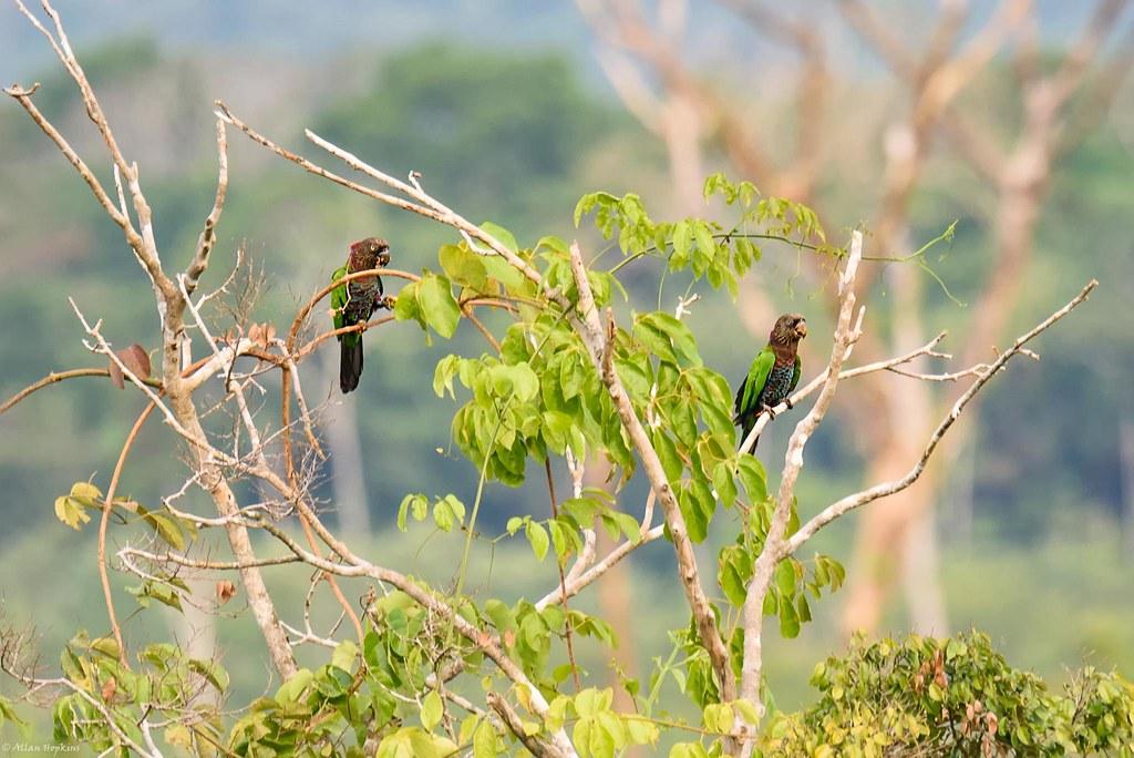 Red-fan Parrot (Deroptyus accipitrinus)