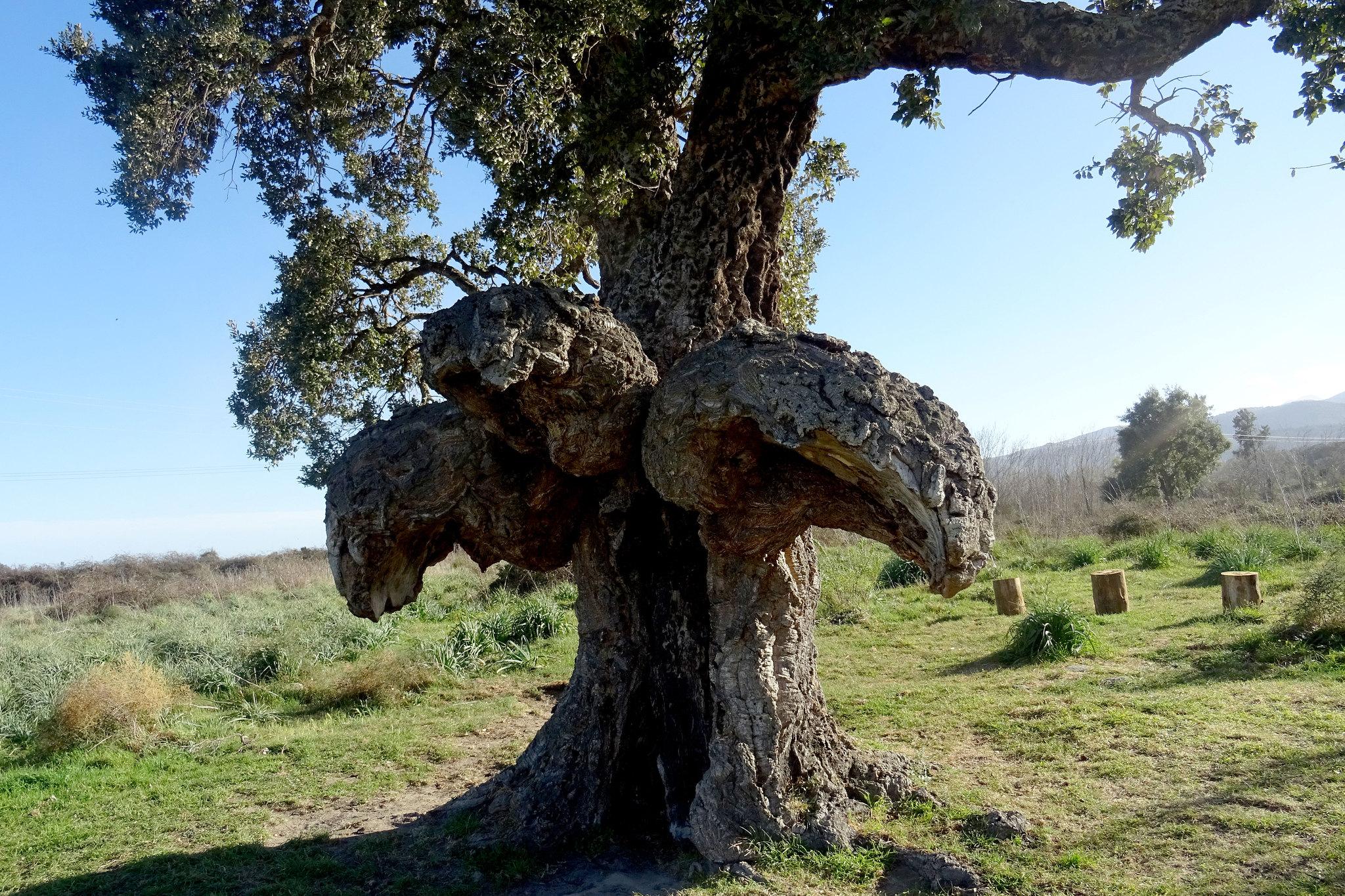 L'arbre-oiseau, l'arburacellu de Ghisonaccia arbre de l'année 2018
