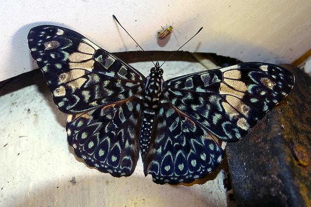 Hamadryas amphinome - Panama