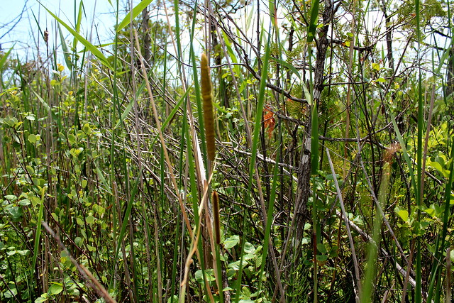 Typha domingensis Südlicher Rohrkolben Southern, Cattail, Cumbungi