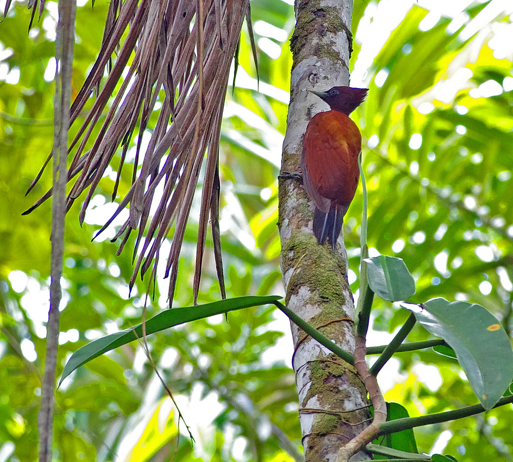 Chestnut woodpecker (Celeus elegans) in the vicinity of Sacha Lodge by  Río Napo, Ecuador.