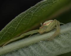 Crab spider hunting on milkweeed leaf.