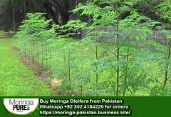 moringa-tree farm pakistan by Buy Moringa Powder in Pakistan