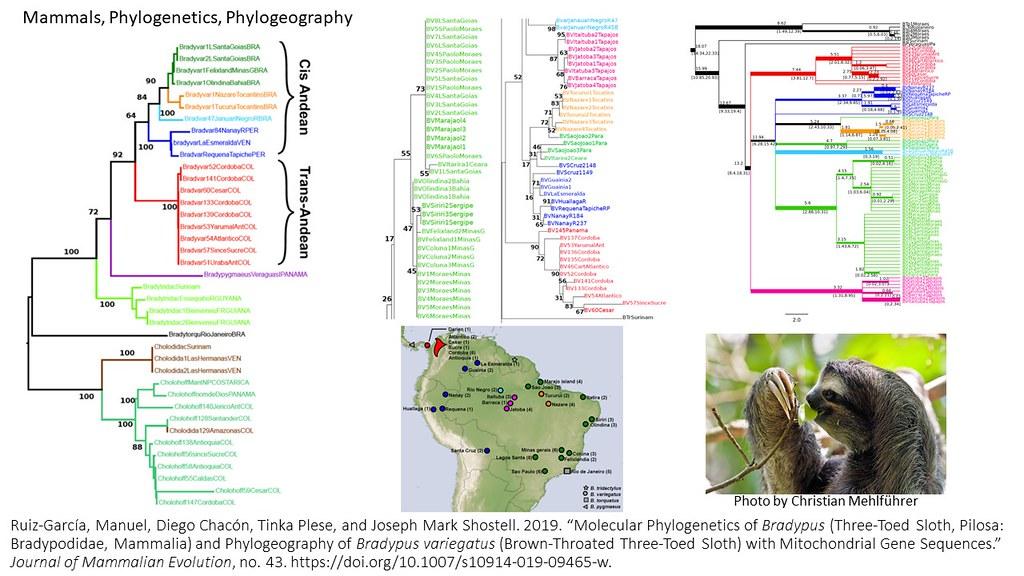 Ruiz-Garcia et al. 2019 - Phylogenetics of Bradypus