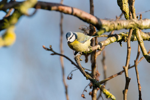 Queueing for the feeders: bluetits