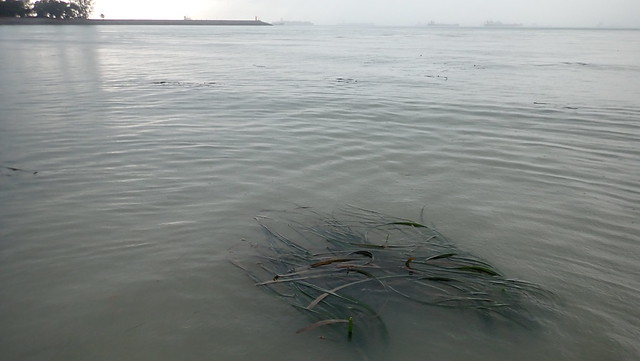 Tape seagrass (Enhalus acoroides)