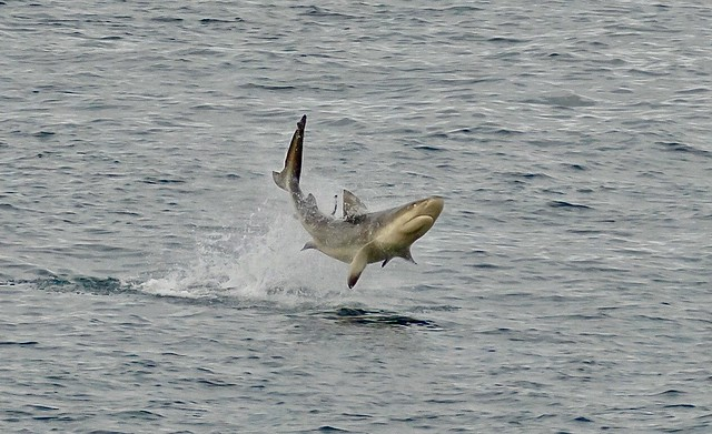 Bull Shark impersonating a Dolphin !!!!