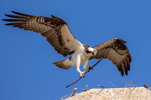 outdoor dennis adair sea sky nature wildlife 7dm2 7d ii ef100400mm canon florida bird bif flight prey raptor