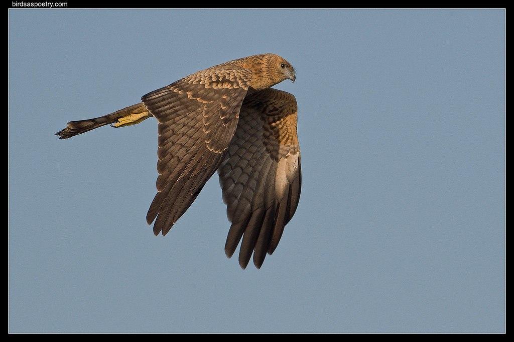 Swamp Harrier: Evening Run