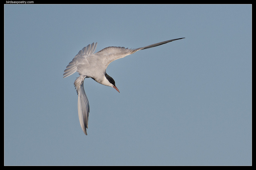 Whiskered Tern : Why Leonardo got it Wrong